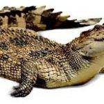 تعبیر خواب تمساح یا کروکودیل چیست؟