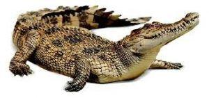 تعبیر خواب تمساح یا کروکودیل چیست؟ دیدن تمساح در خواب تعبیر خواب کروکودیل تعبیر خواب ظهر تعبیر خواب تمساح کوچک تعبیر خواب تمساح در خانه تعبیر خواب تمساح در استخر تعبیر خواب تمساح تعبیر خواب