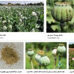 روش ها و طریقه زمان صحیح کاشت خشخاش گلدان در خانه